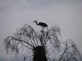 Zivju gārnis. Vakara siluets pie ligzdas koka galotnē
